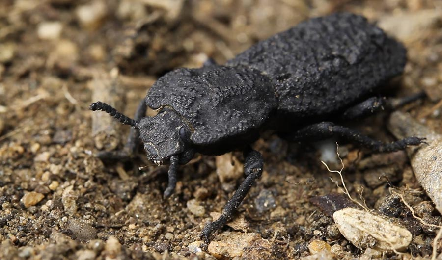 diabolical ironclad beetle