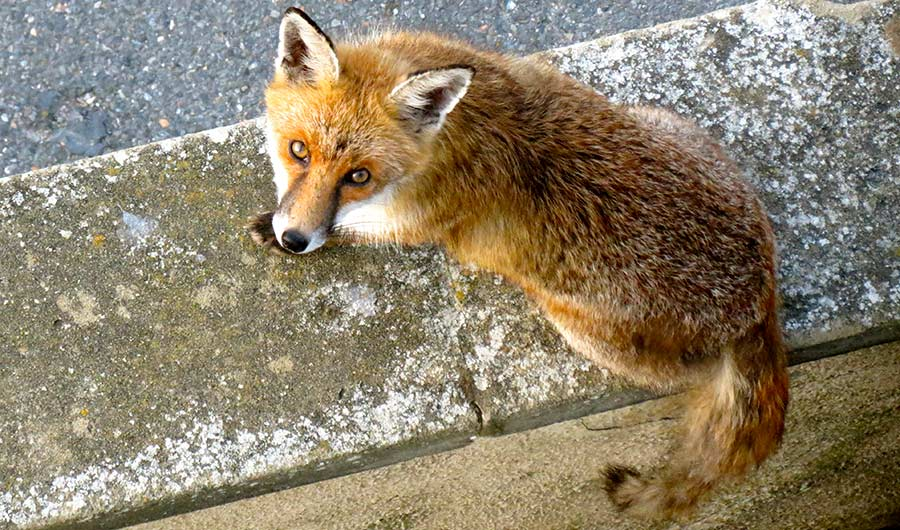 Urban Foxes Are Starting To Resemble Domesticated Animals Inside Science